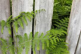 fence of ferns
