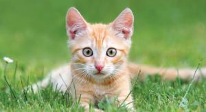 CAT_Pet