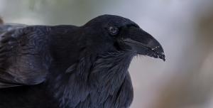 wild_raven