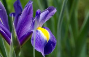 iris_flower