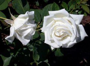white_roses
