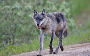 Wolf_country