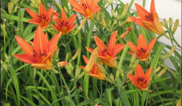 Tigerlilies