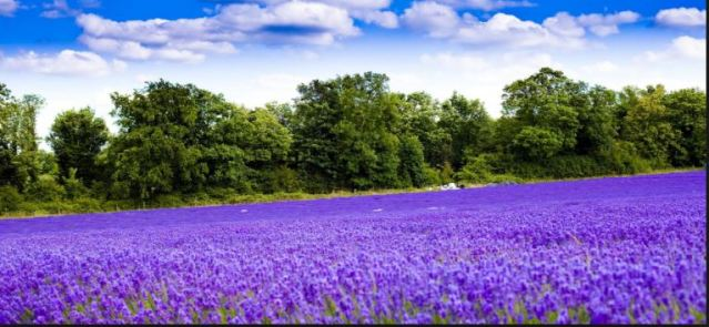 lavendercarpet