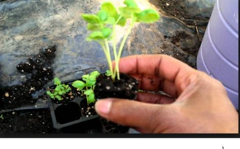 transplant_plant