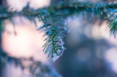 snow-on-christmas-pine-tree