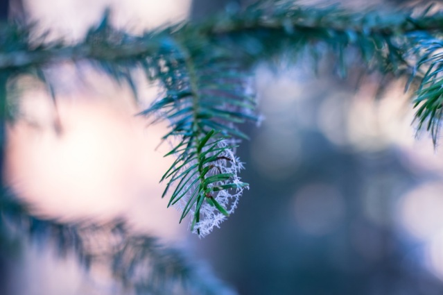 snow-on-christmas-pine-tree